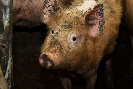 piglets: Dirty pig in a traditional farm. Looking into camera