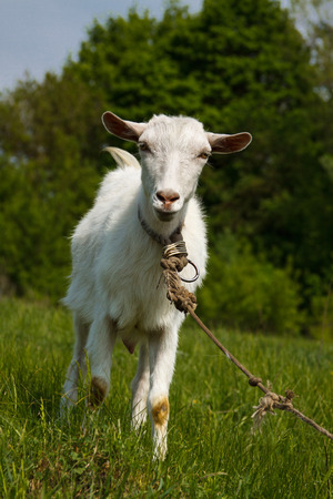 White goat on a green pasture. Looking into camera Stock Photo