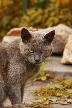 Ashy gray cat in the nature. Against the background of autumn grass and stones