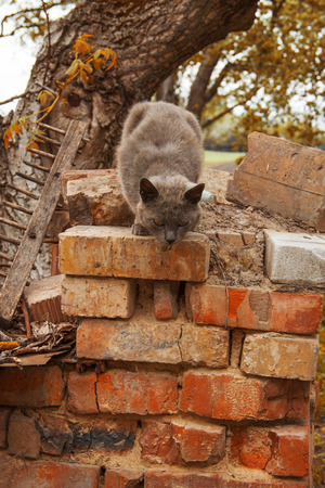 Ashy gray cat jumps down from the brick wall. Against the background of rakes and tree Stock Photo