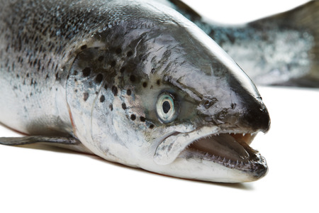 Salmon isolated on white background. Head closeup with open mouth 스톡 콘텐츠