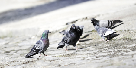 Flock of pigeons on the paved ground looking for food on the sunny day in the city with attempt of mating, shallow depth of field, diagonal, copy space, fauna, birds. Stock Photo