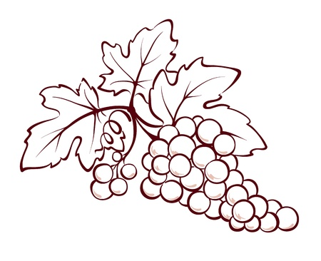 grapes on vine: Bunch of grapes