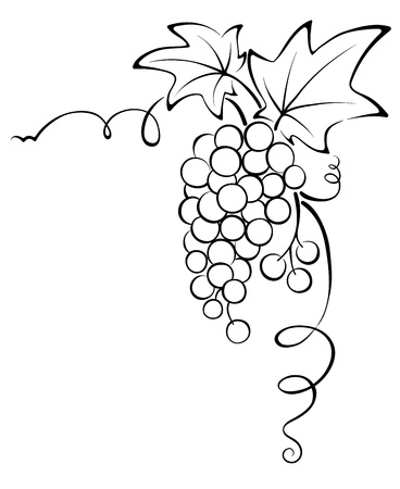 grapes on vine: Graphic design - Grapevine  Illustration