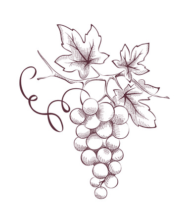 bunch of grapes: Image of grapes - engraving
