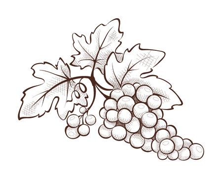 grape crop: Floral decoration - grape Illustration