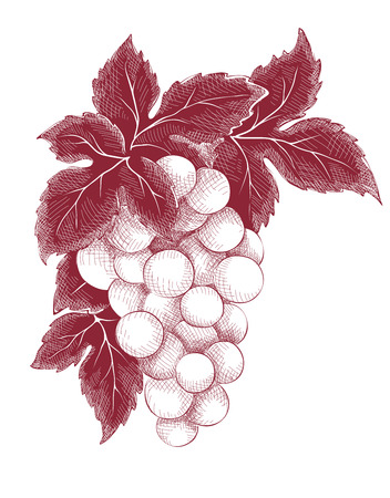 Vector illustration, graphic design - bunch of grapes Stock Illustratie