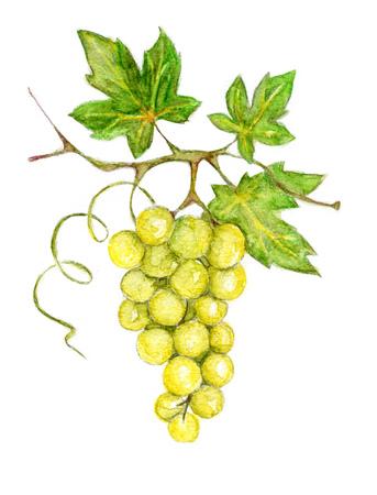 white grape: Illustration -- green grapes Stock Photo