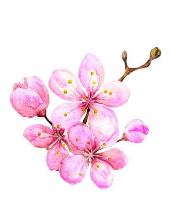 fleur cerisier: Illustration d'aquarelle - sakura Banque d'images