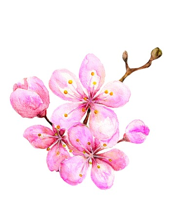sakura flowers: Watercolor illustration -- sakura