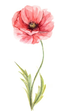 isolated on red: Watercolor illustration -- Poppy flower