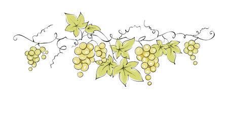 Design elements -- vine  Color vector illustration, green grapes -- drawing, sketch