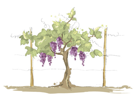 Vineyard  Grape on the trellis, color vector illustration Illustration