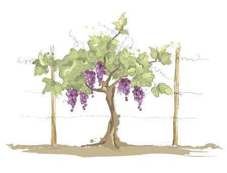 Vineyard / Grape on the trellis, color vector illustration Vetores