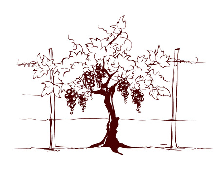 Vineyard  Grape on the trellis, graphic vector illustration