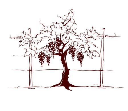 Vineyard / Grape on the trellis, graphic vector illustration