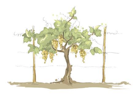 Vineyard  Grape on the trellis, color vector illustration Illustration