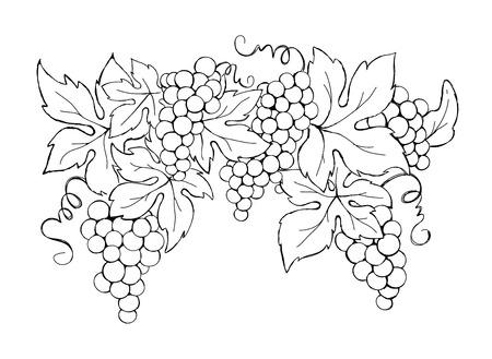 Grapes / Vector illustration, vintage design element
