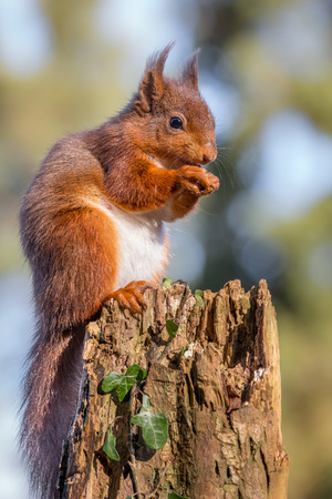 Red Squirrel feeding on tree stump photo