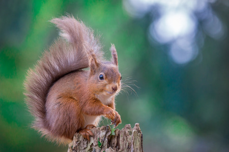 red squirrel: Red Squirrel in Northumberland