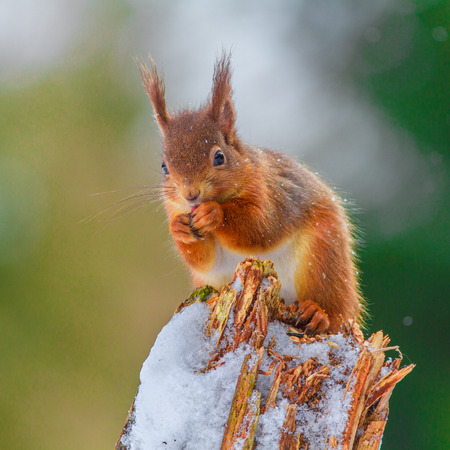 red squirrel: Red Squirrel feeding in English forest Stock Photo