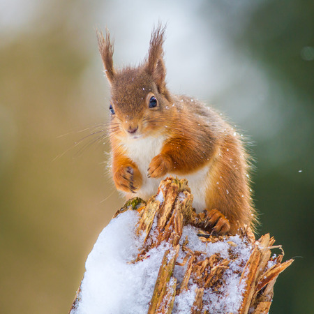 red squirrel: Red Squirrel in Winter Stock Photo