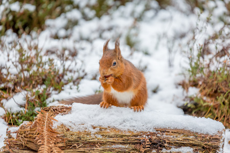 red squirrel: Red Squirrel sitting on snow covered log
