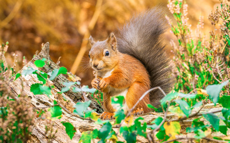 red squirrel: Red Squirrel in Autumn