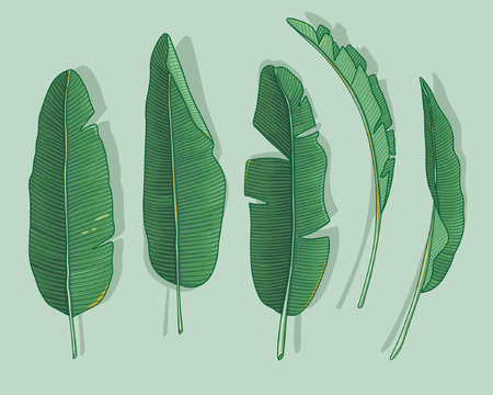 banana: banana leaves Illustration