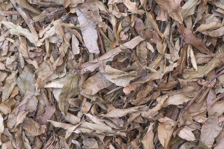 Dry leaf on ground.Autumn fallen leaves in Thailand forest .Brown color background. Standard-Bild