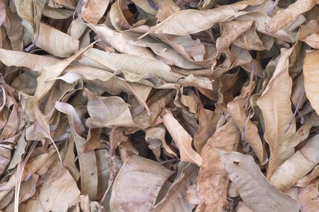 Dry leaf on ground.Autumn fallen leaves in Thailand forest .Brown color background. Stock Photo