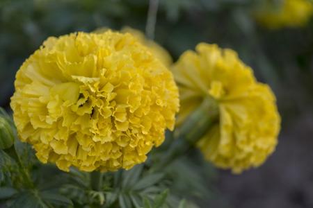 Marigolds (Tagetes erecta, Mexican marigold, Aztec marigold, African marigold) plant in the garden. Standard-Bild
