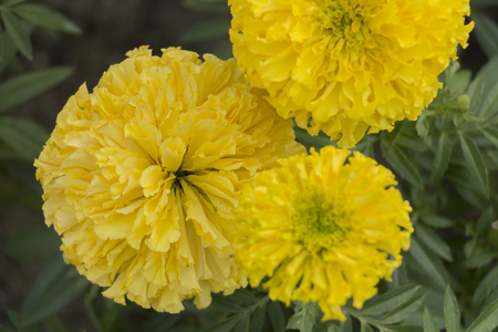 Marigolds (Tagetes erecta, Mexican marigold, Aztec marigold, African marigold) plant in the garden. Stock Photo