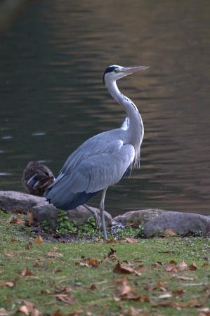 ardeidae: heron at pond Stock Photo