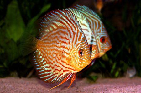 pez disco: Symphysodon disco en el tanque