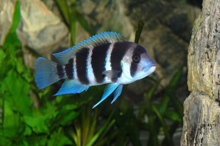 cyphotilapia: Forntosa fish in aquarium
