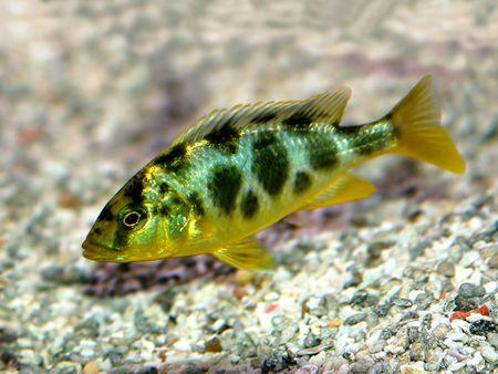 aquarist: Nimbochromis Venustus - a colorful african cihlid from Lake Malawi Stock Photo