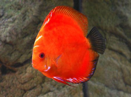 Symphysodon discus aquarium fish photo