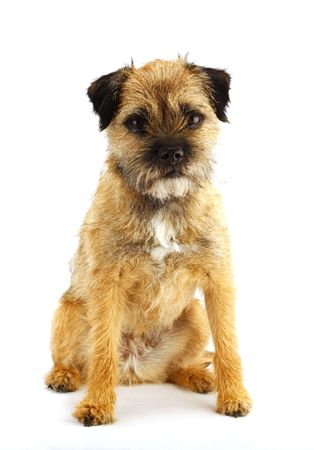 young and active english border terrier Stock Photo - 966207
