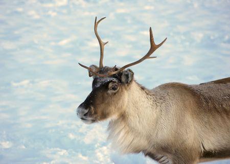 enviroment: reindeer in natural enviroment in scandinavia