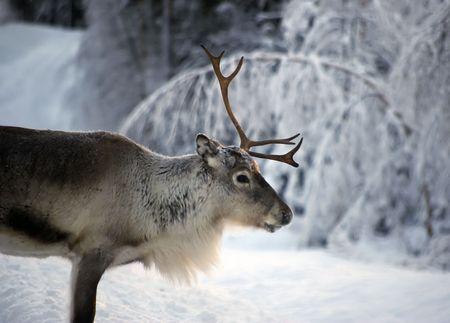 reindeer in natural enviroment in scandinavia
