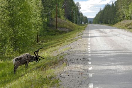 dangerously: reindeer dangerously close to the road and the traffic Stock Photo