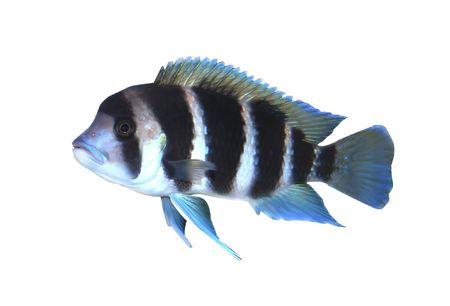 cyphotilapia: frontosa fish