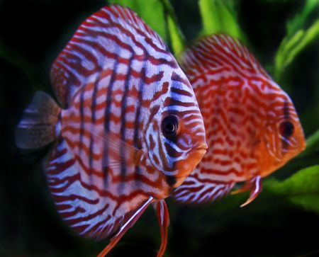 discus fish: close up on colorful discus fish
