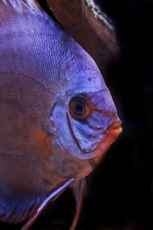 close up on colorful discus fish photo