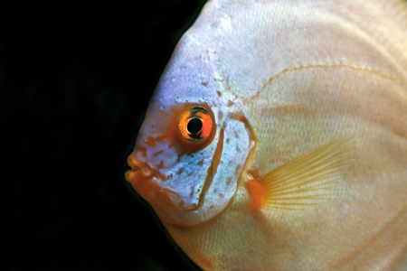 diskus: close up on colorful discus fish