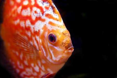 a colorful discus fish in fish tank photo