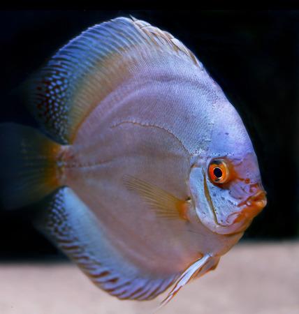 pez disco: Symphysodon tropicales coloridos peces disco  Foto de archivo