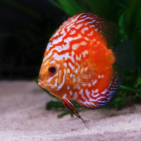 symphysodon discus: colorful tropical Symphysodon discus fish