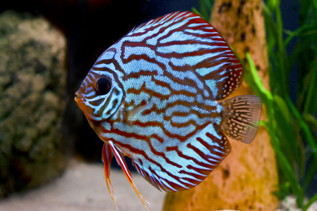 colorful tropical Symphysodon discus fish Stock Photo - 1606633